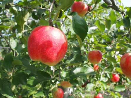 山梨県でおすすめのりんご狩り(2020)時期や食べ放題、品種は?